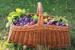 basket of plumsの写真素材 [FYI00802083]