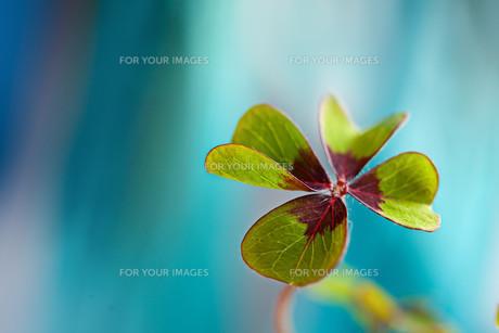 four-leaf cloverの写真素材 [FYI00802157]