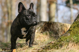 french bulldogの素材 [FYI00802272]