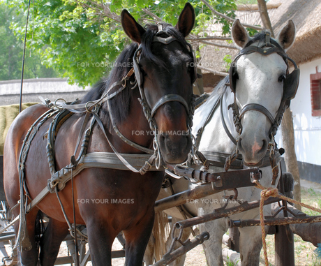 clamped horsesの素材 [FYI00802838]