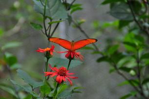 butterfliesの素材 [FYI00803082]