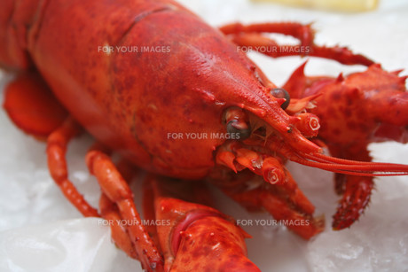 lobsterの素材 [FYI00804304]