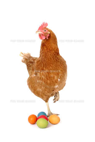 chicken with easter eggsの写真素材 [FYI00804603]