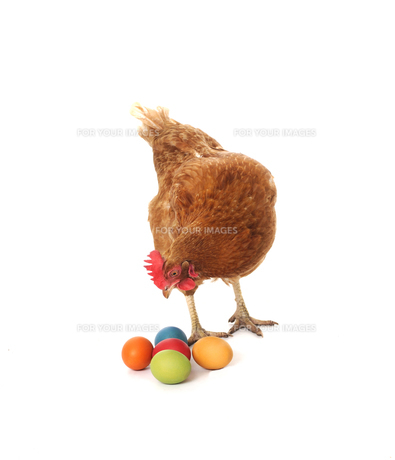 chicken with easter eggsの写真素材 [FYI00804606]