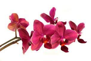 orchidの素材 [FYI00804971]