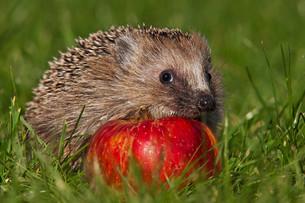 hedgehogの素材 [FYI00805305]