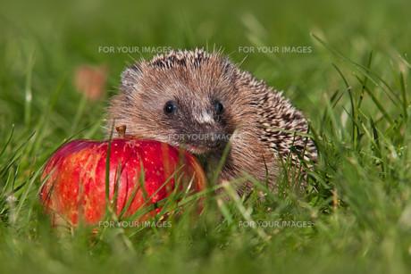 hedgehogの素材 [FYI00805317]