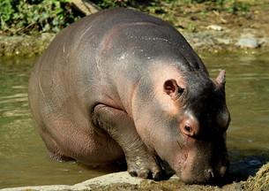 hipposの素材 [FYI00805514]