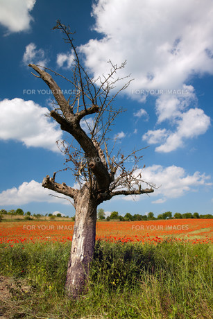 bare apple tree in front cornfield with poppiesの写真素材 [FYI00805525]