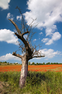 bare apple tree in front cornfield with poppiesの素材 [FYI00805525]