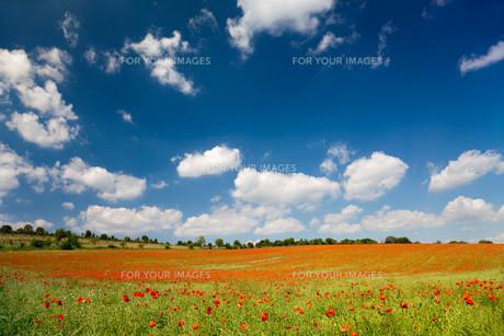 poppy flowers on a cornfieldの素材 [FYI00805602]