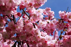 cherry,blossoms,japaneseの写真素材 [FYI00805883]