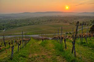 vineyard in springの写真素材 [FYI00806229]