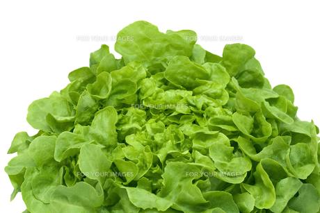 oak leaf lettuce on whiteの写真素材 [FYI00806713]