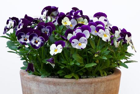 horn violets (viola cornuta,pansies)の素材 [FYI00806852]