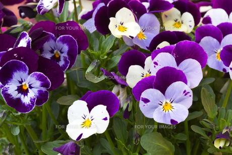 plants_flowersの素材 [FYI00806853]