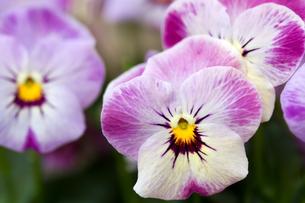 plants_flowersの素材 [FYI00806855]