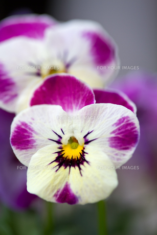 plants_flowersの素材 [FYI00806859]