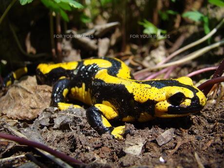 fire salamander in the national park kellerwaldの写真素材 [FYI00807060]