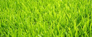 soccer grass - football turf texture transverselyの写真素材 [FYI00807369]