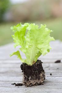 lettuce seedlingの素材 [FYI00807637]