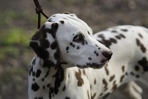 dalmatianの写真素材 [FYI00807935]