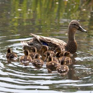 ducklings iの写真素材 [FYI00807948]