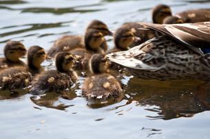 ducklings iiの写真素材 [FYI00807955]