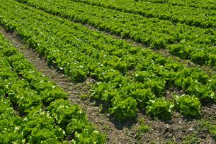 green leaf lettuceの写真素材 [FYI00808094]