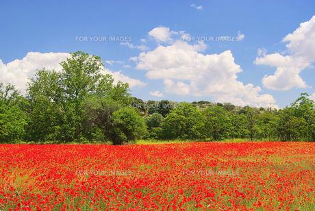 poppy field - corn poppy in field 08の素材 [FYI00808235]