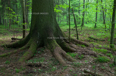 trees_forestsの素材 [FYI00808494]