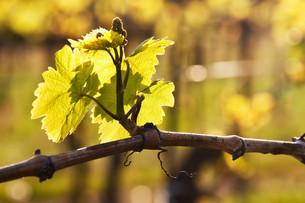 fresh shoot on the vineの写真素材 [FYI00808516]
