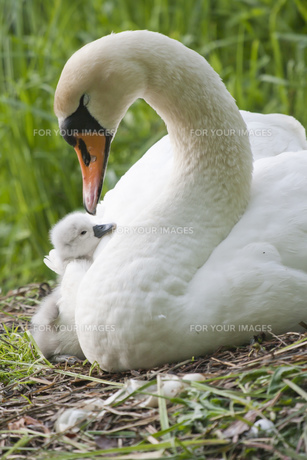 swan with chicksの写真素材 [FYI00809651]