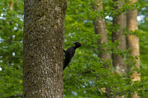 black woodpecker,dryocopus martius,femaleの素材 [FYI00809866]
