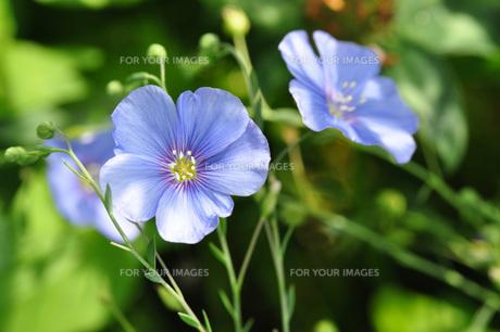 wild flax flowersの素材 [FYI00810441]
