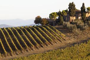 tuscan vineyardの写真素材 [FYI00811762]
