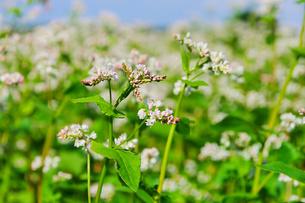 buckwheat - buckwheat 09の素材 [FYI00812323]