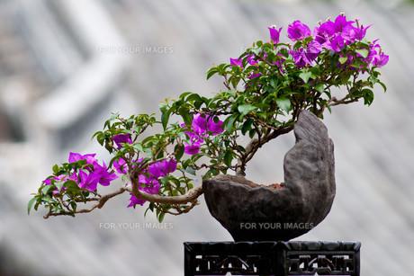 flowering bougainvilleaの素材 [FYI00812356]