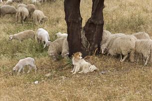 sheepの写真素材 [FYI00812663]