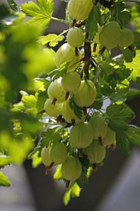 fruitの素材 [FYI00813062]