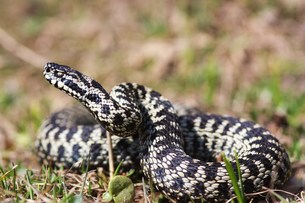 viper (vipera berus)の写真素材 [FYI00813287]