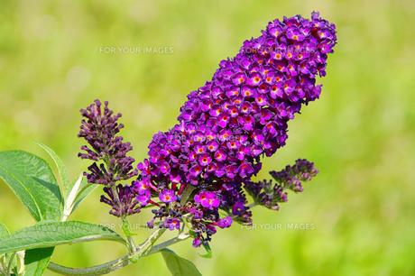 plants_flowersの素材 [FYI00813519]