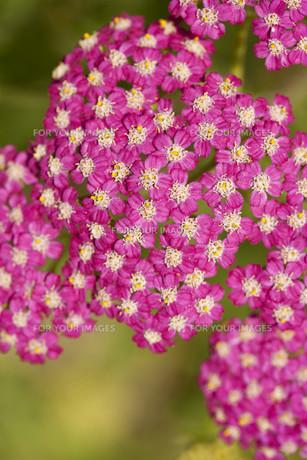 plants_flowersの素材 [FYI00814104]