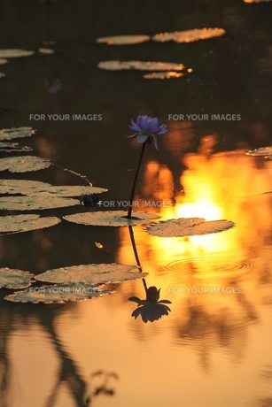 water lilies sunsetの写真素材 [FYI00814261]