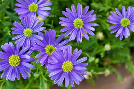 blue daisy (brachyscome iberidifolia)の写真素材 [FYI00814303]