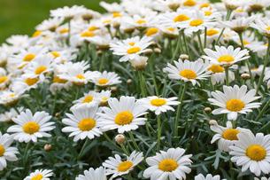 daisies (leucanthemum)の素材 [FYI00814337]