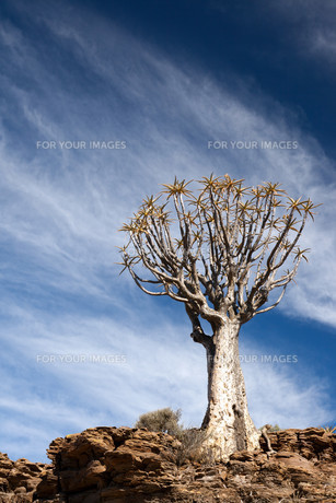 age quiver tree in south africaの写真素材 [FYI00814400]