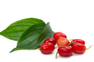 berries and leaves of cornus (cornus mas)の素材 [FYI00814618]