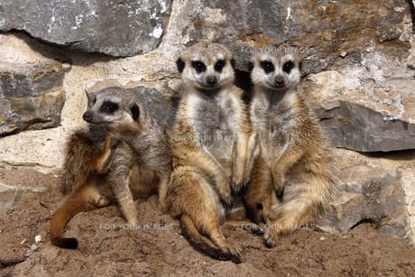 meerkat family with cubの写真素材 [FYI00815873]