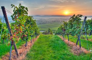sun and summer in the vineyardの写真素材 [FYI00816035]